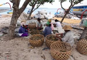 petani rumput laut nusa penida