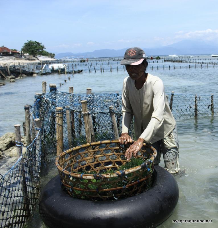 Ketut Narti saat akan mengambil ikatan rumput laut yang akan ditanam di lahannya Dusun Batu Mulapan