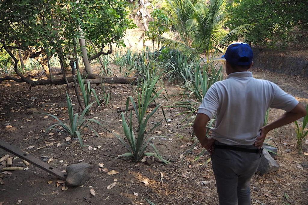 Tanaman sisal yang mulai ditanam lagi oleh warga Dukuh seiring banyaknya penggunaan untuk kerajinan. Foto : Anton Muhajir/Mongabay Indonesia