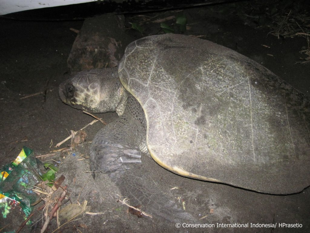 Penyu jenis Lekang (Lepidochelys olivacea) ke pantai di Jembrana, Bali, untuk bertelur, dengan sampah di sisinya. Foto : Hanggar Prasetio/Conservation International Indonesia/Mongabay Indonesia
