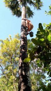 Seorang warga memanjat pohon lontar